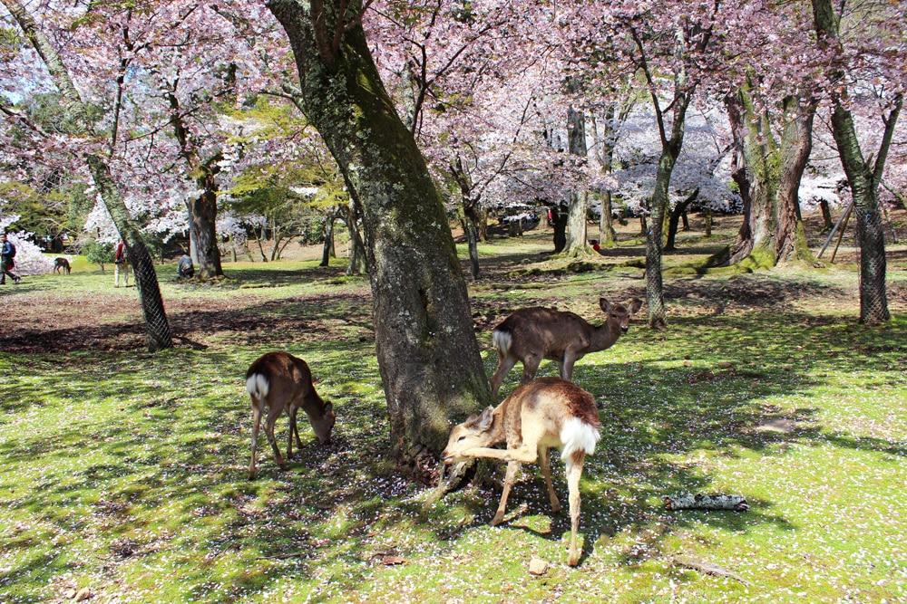 day trip to nara park deer